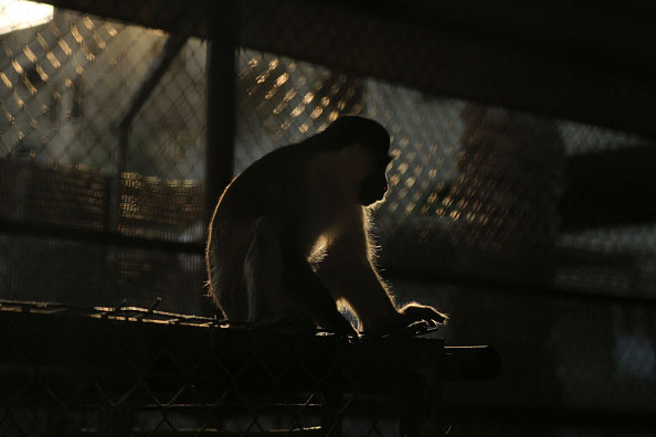 Monkey-in-Tripoli-Zoo